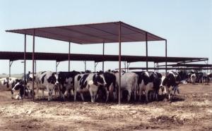 livestock13