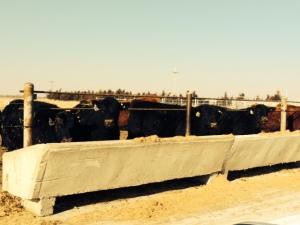 bulls at bunk
