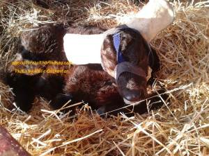 calf with ear muffs1