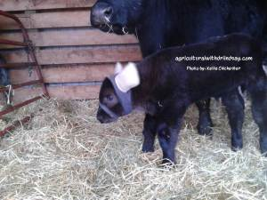Calf with ear warmers by cow