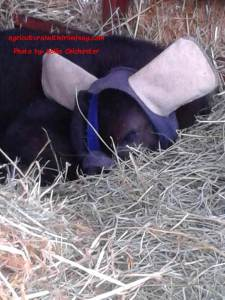 Sleeping calf with ear warmers