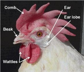 Chicken_head