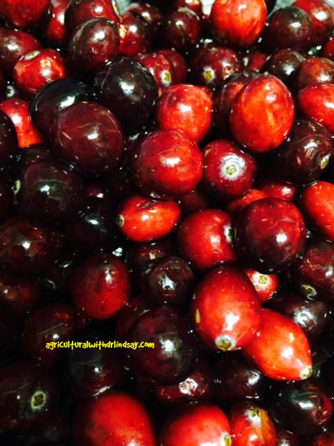 cranberries-final