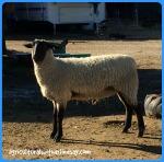 replacement ewe - final
