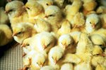 Photo Courtesy Nebraska Extension Poultry website.