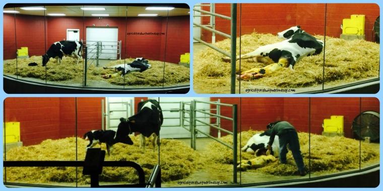 calving-final