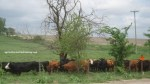 Cows under tree
