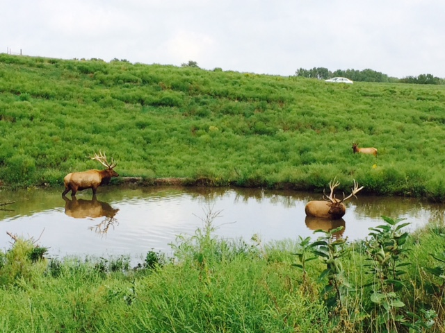2 elk in pond