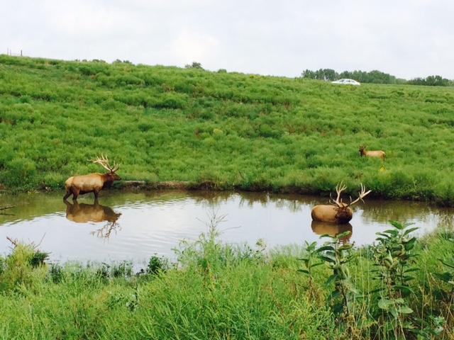 2 elk in pond