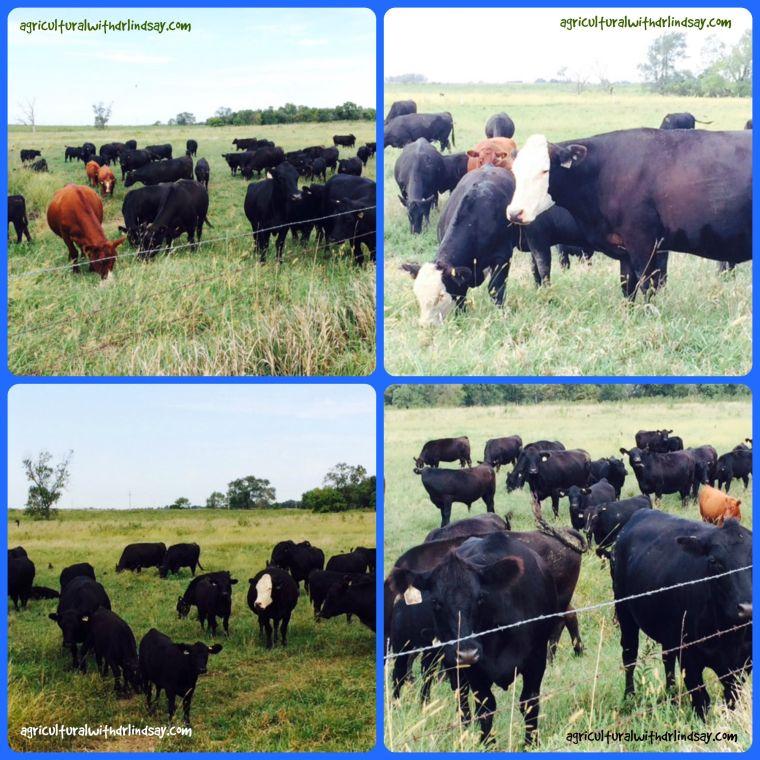 black cows - final