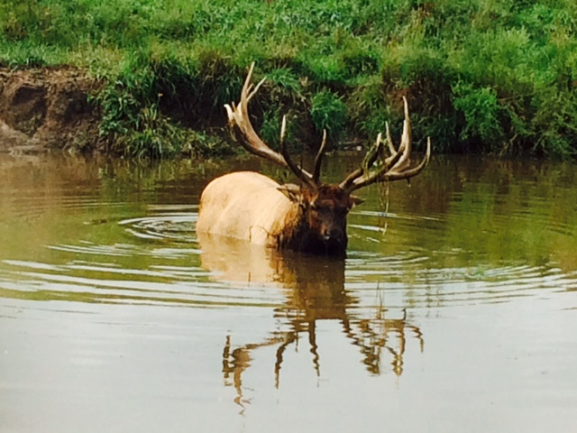Elk in Pond