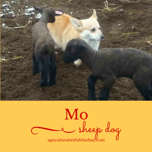 Mo and lambs