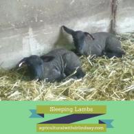 sleeping lambs