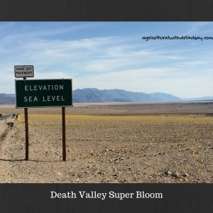 Death AValley Super Bloom