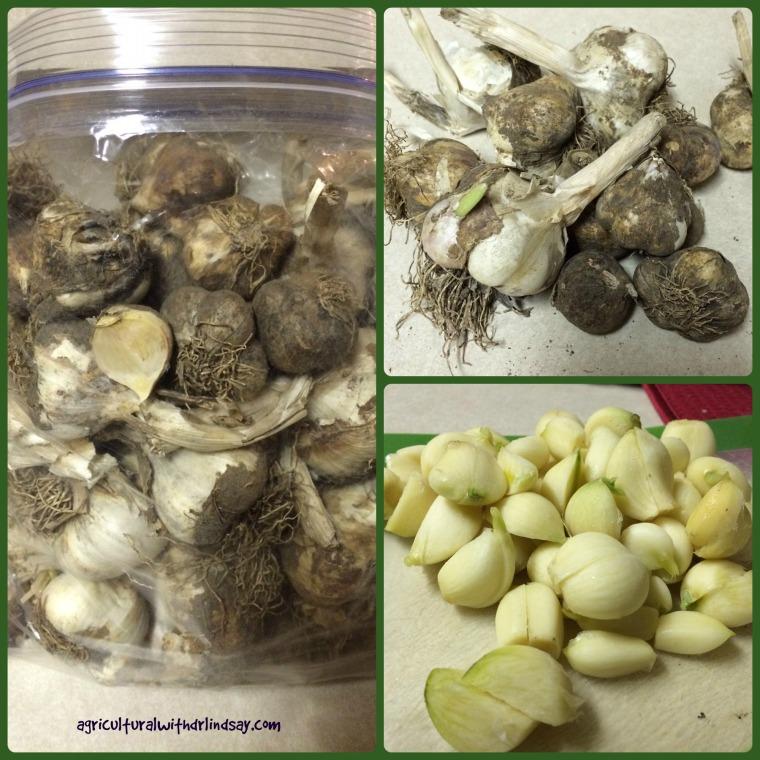 garlic - final