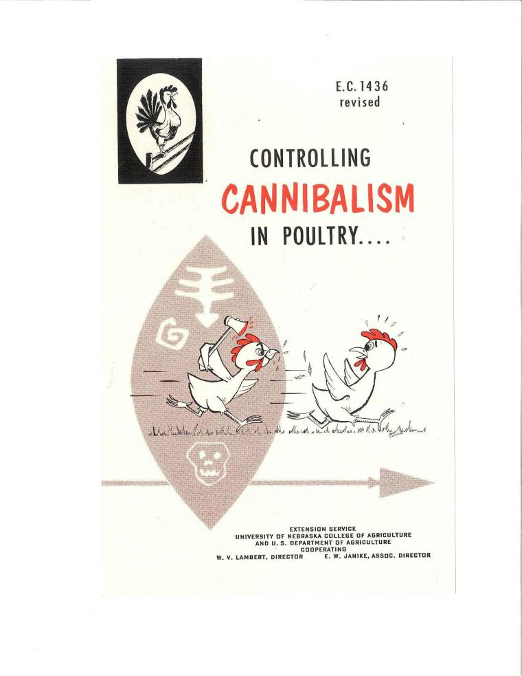 Cannibalism in poultry – Agricultural with Dr  Lindsay