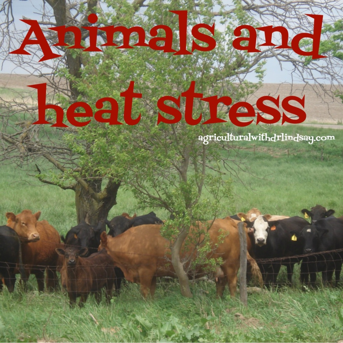 Animals And Heat Stress Agricultural With Dr Lindsay